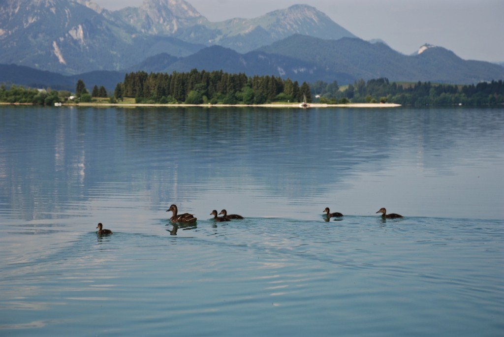 WeekendREcharge, Alpside Fishing, Forggensee, Bavaria, bayern, lakes, seen, anna kathalina langer, enten, entenfamilie, ducklings, mountains